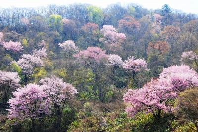 戸赤の山桜